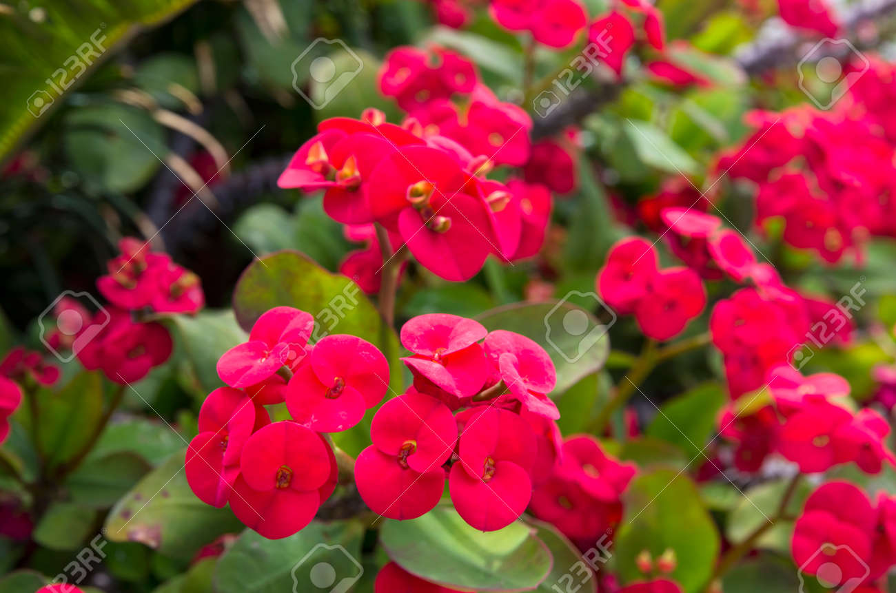 Bright red flowers of euphorbia on a background of leaves - 146354977