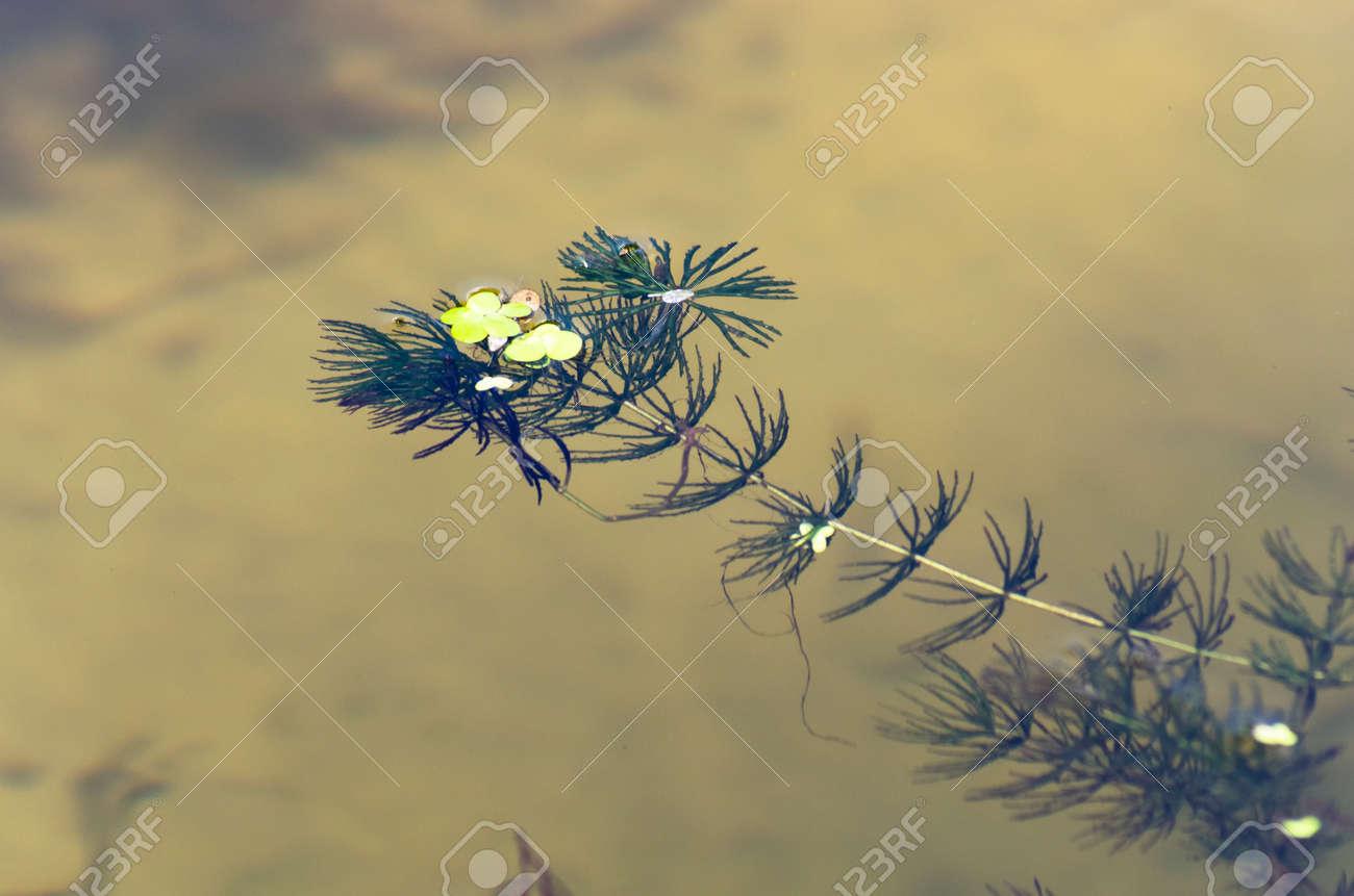One sprig of seaweed in water - 159007518