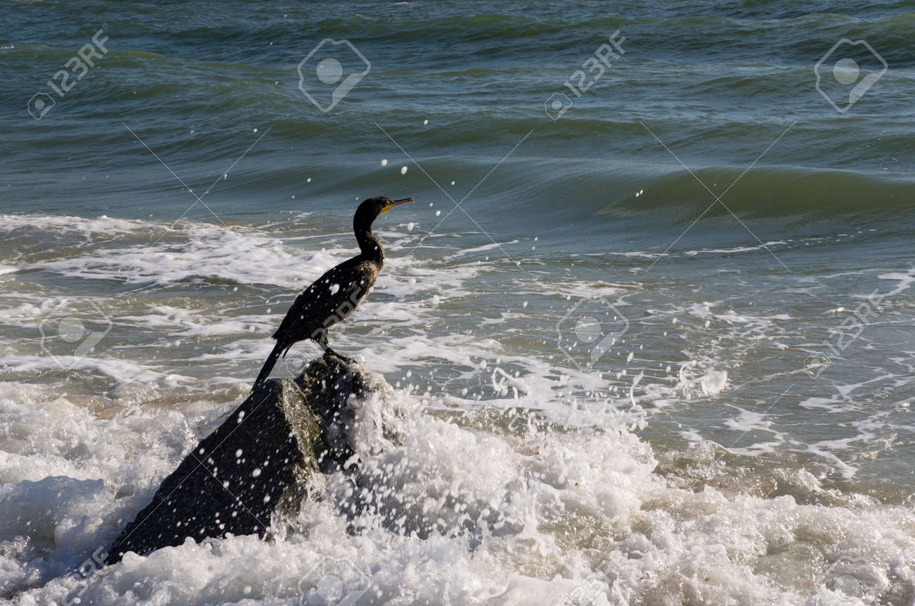 Cormorant bird sits on a stone in the sea - 159007649