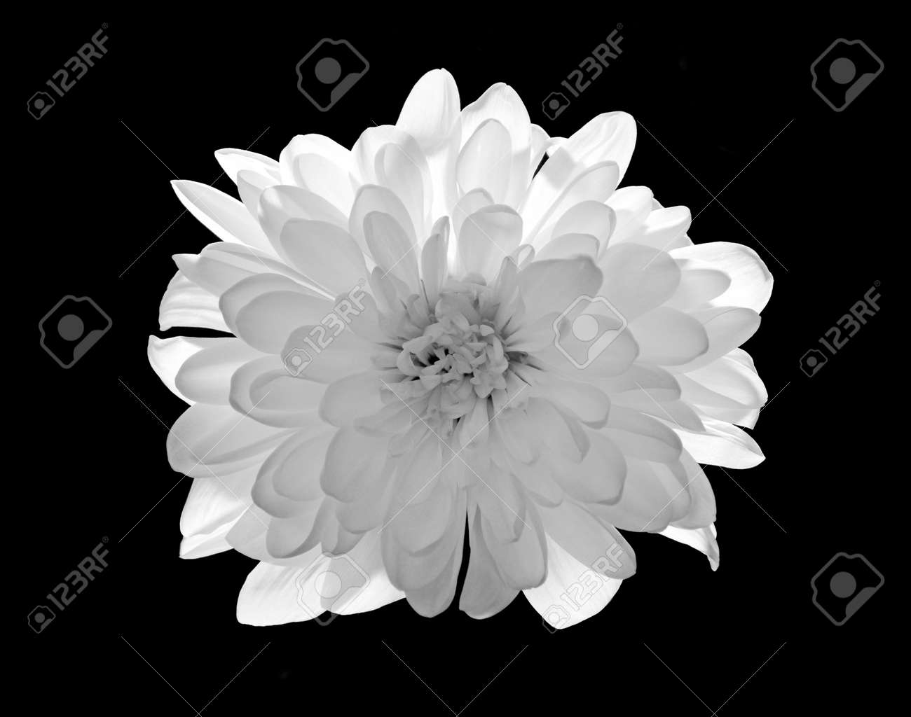 Black and white flower stock photo picture and royalty free image black and white flower stock photo 22932696 mightylinksfo