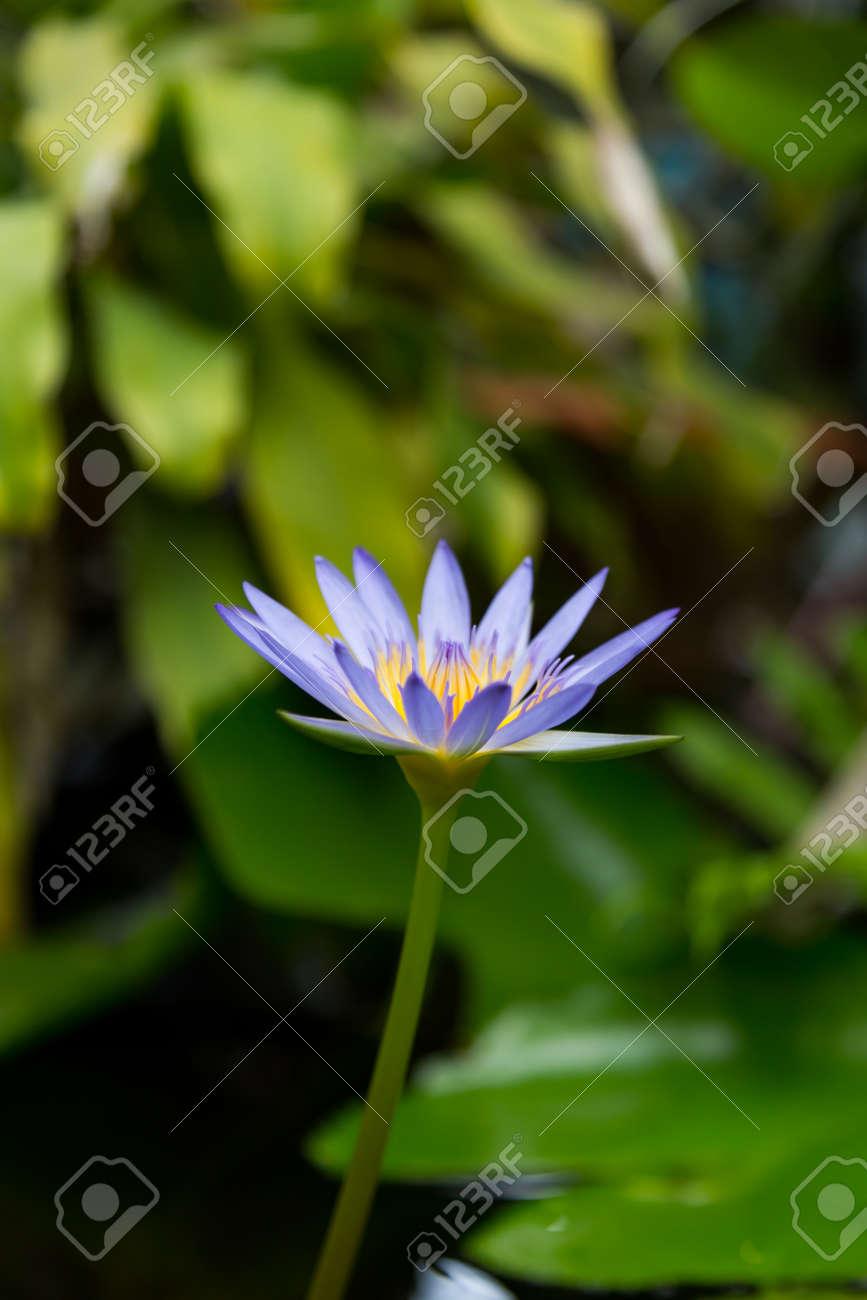 Gros plan de la fleur de lotus bleu en fleurs soft focus sélectif