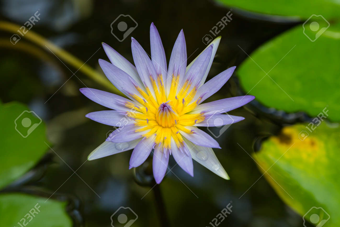 Close Up Of The Blue Lotus Flower Blooming Selective Soft Focus