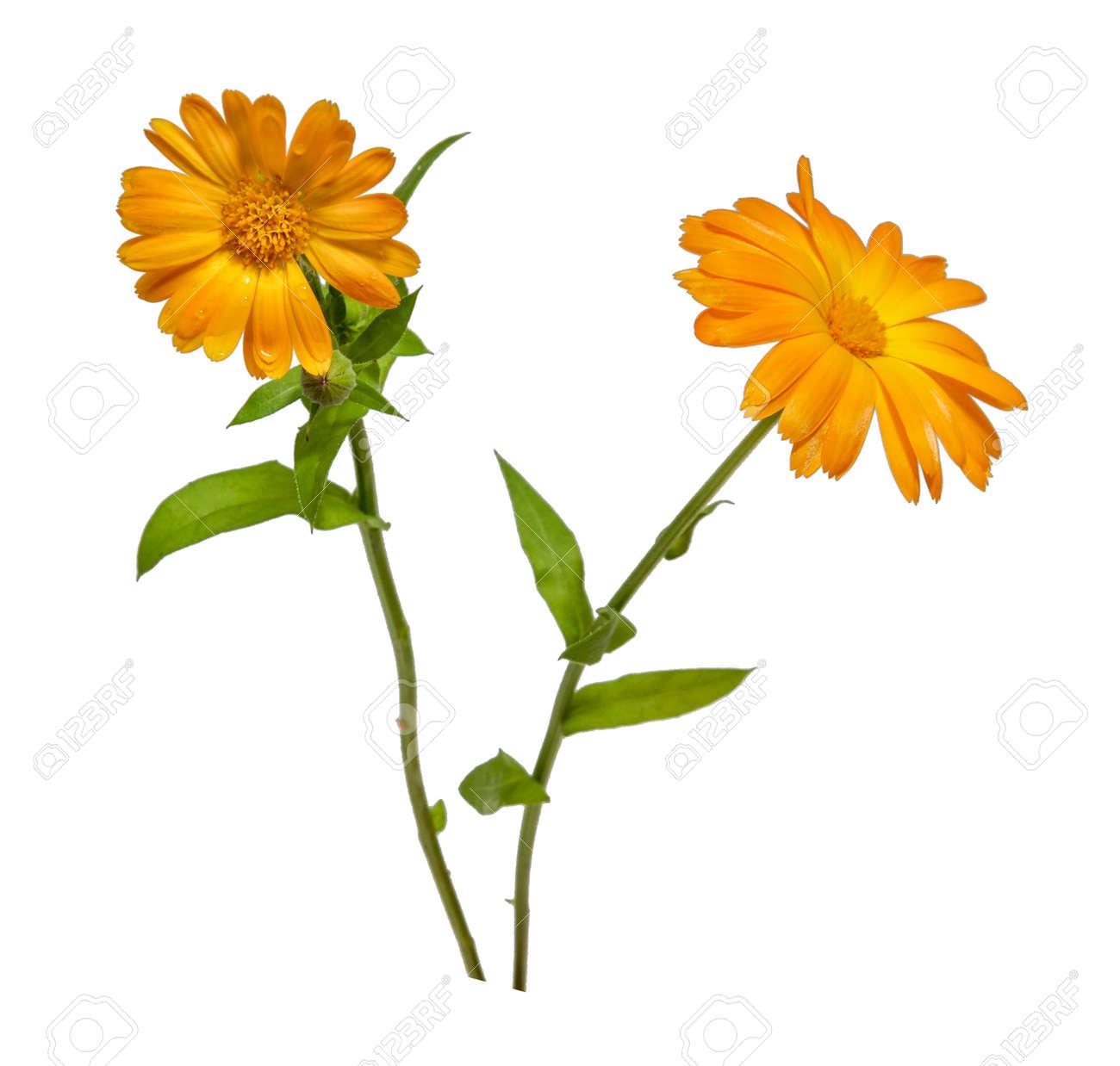 two calendula flower yellow isolated on white background closeup - 130178336
