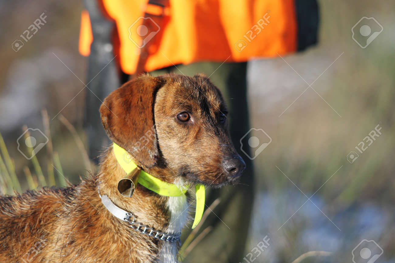 Dog for hunting wild boar with bell collar  In the background