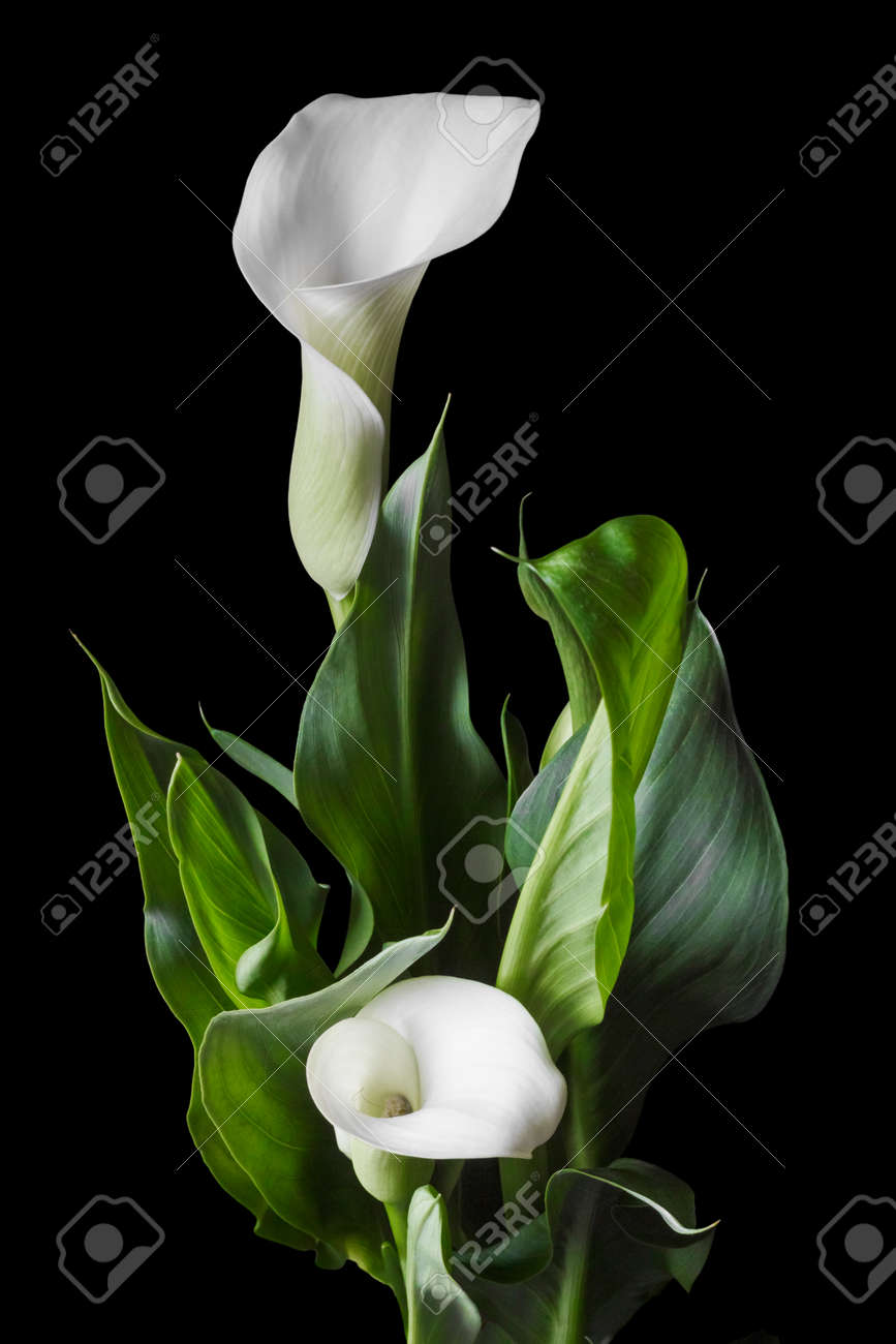 Beautiful White Calla Lilies With Green Leaves Over Black