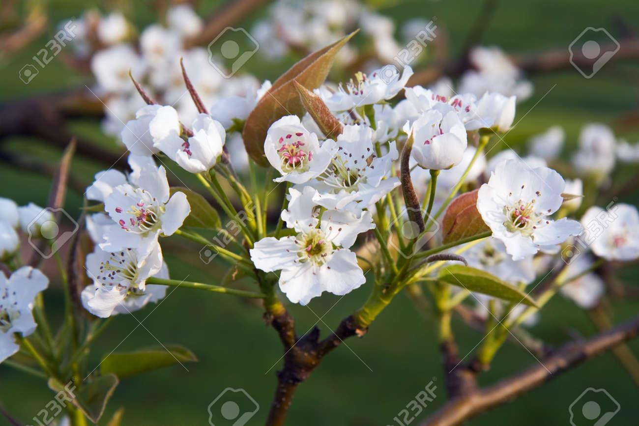 Asian pear flower