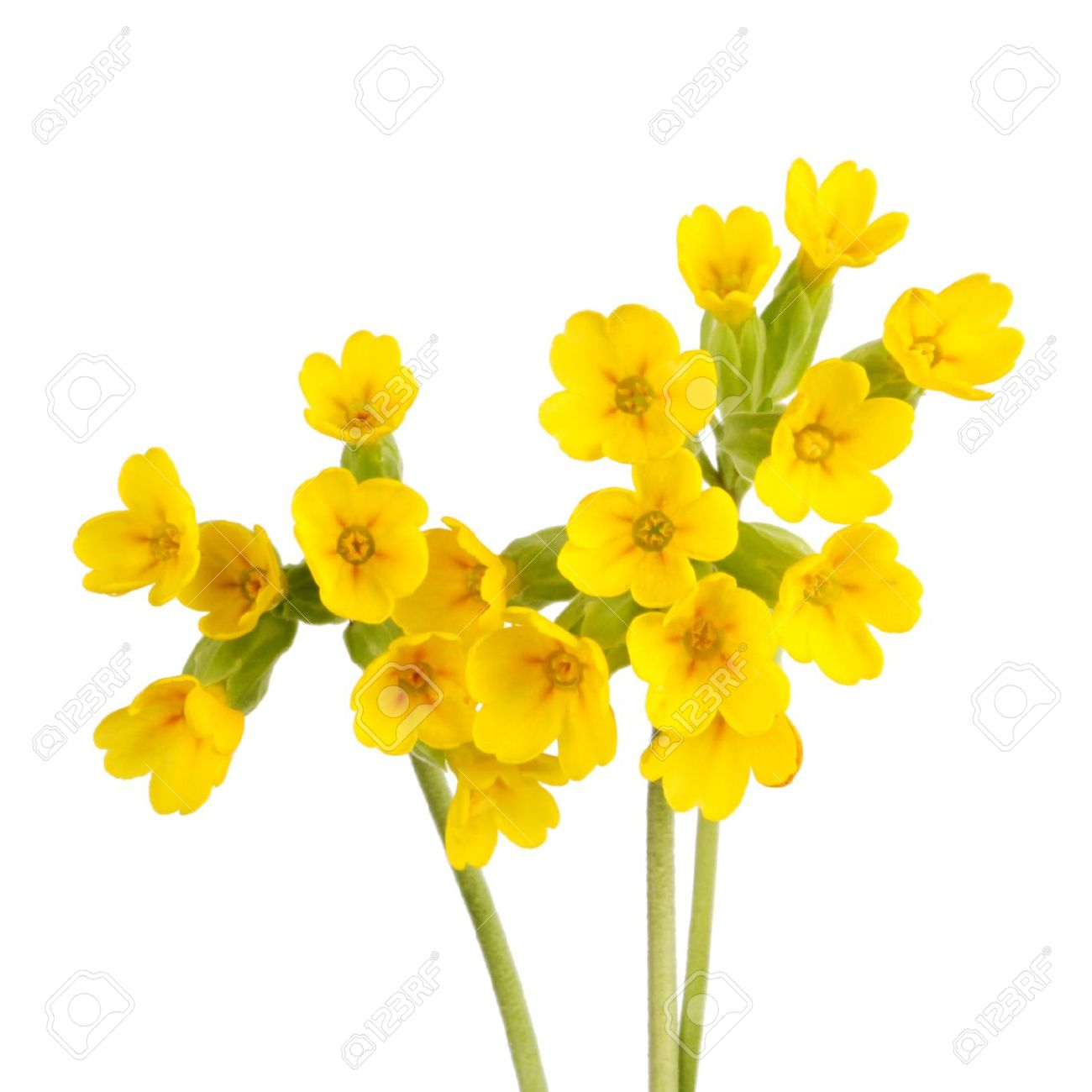 Three Stems With Yellow Flowers Of The Cowslip Primula Veris