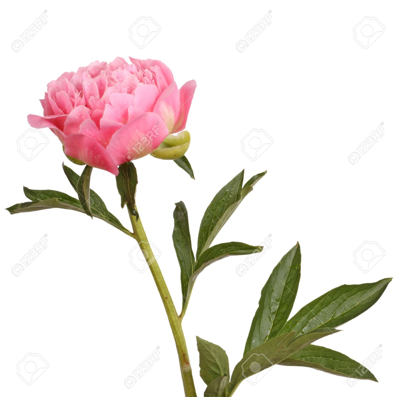 One double flower stem and leaves of a a pink peony paeonia one double flower stem and leaves of a a pink peony paeonia lactiflora against mightylinksfo