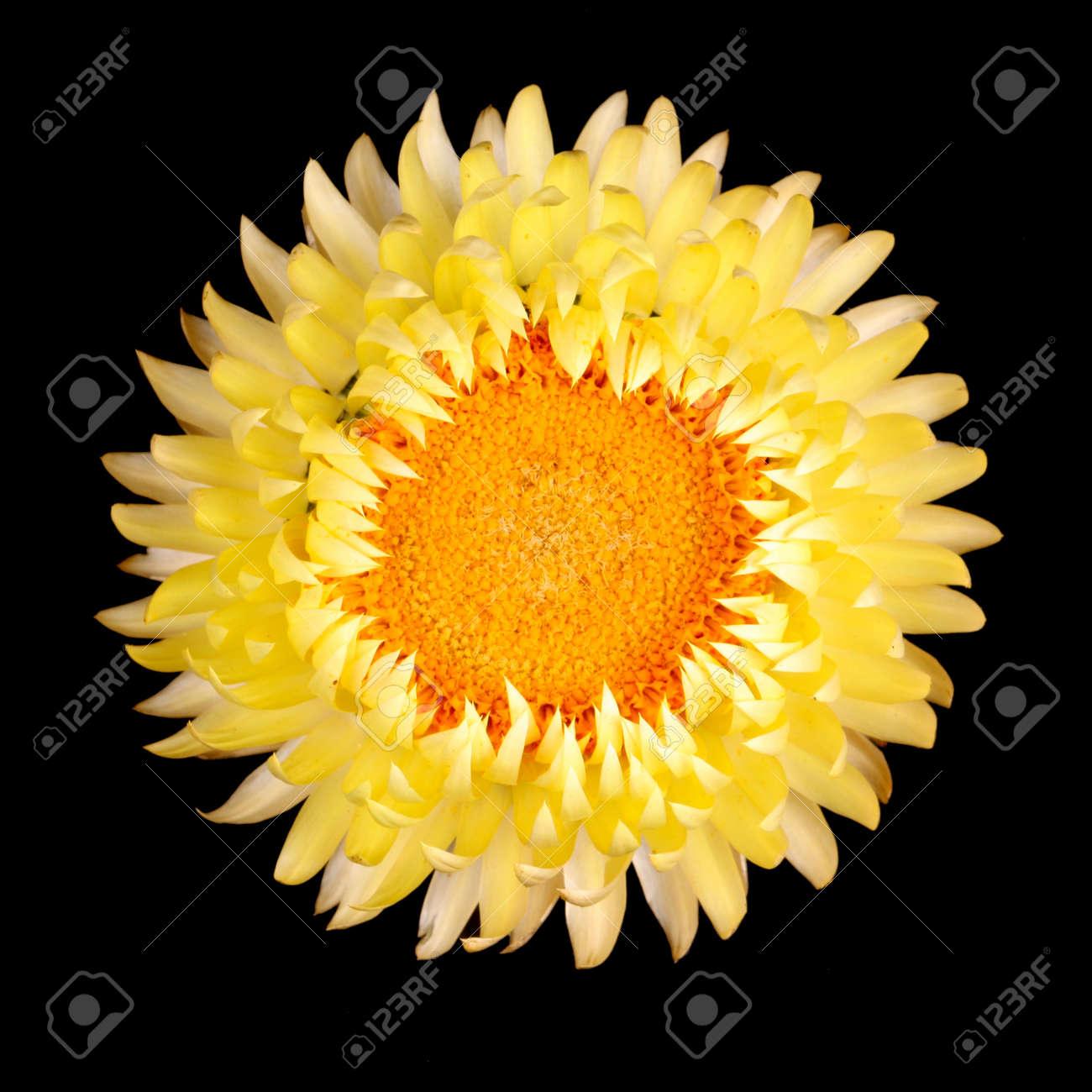 Simple Fleur Jaune De L Immortelle Helichrysum Bracteatum Isole