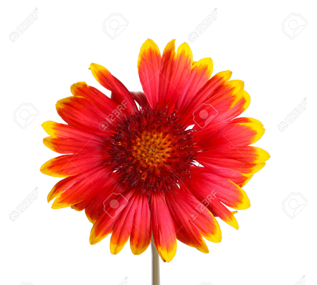 Red And Yellow Flower Of The Perennial Indian Blanketflower Stock