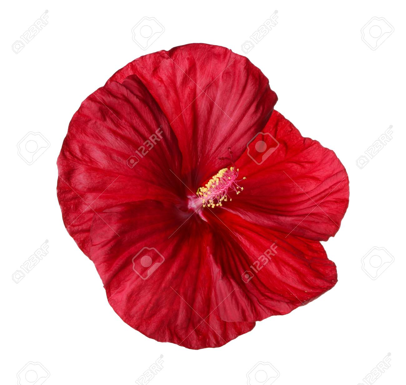 Single Flower Of A Deep Red Hibiscus Hibiscus Moscheutos Hybrid