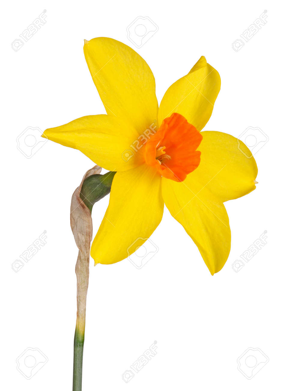 Single flower and stem of the yellow and red small cup daffodil single flower and stem of the yellow and red small cup daffodil cultivar starbrook mightylinksfo