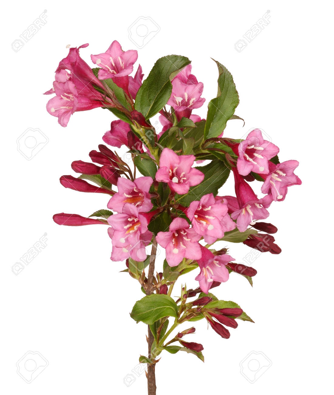 Branch With Many Pink Flowers Of Crabapple Malus Species Isolated