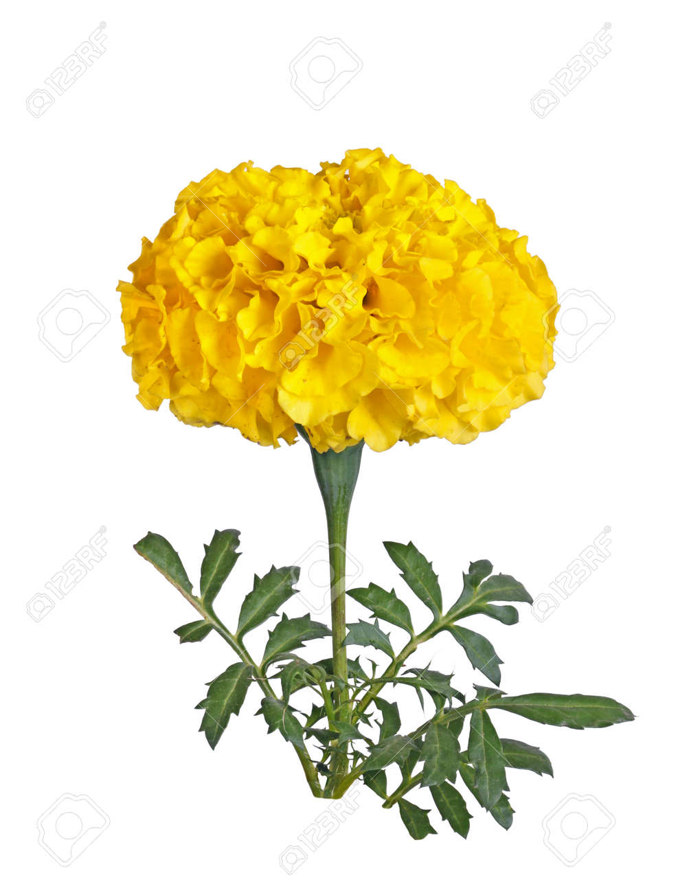 Single Stem With A Full Yellow Flower Of A Marigold Tagetes Stock