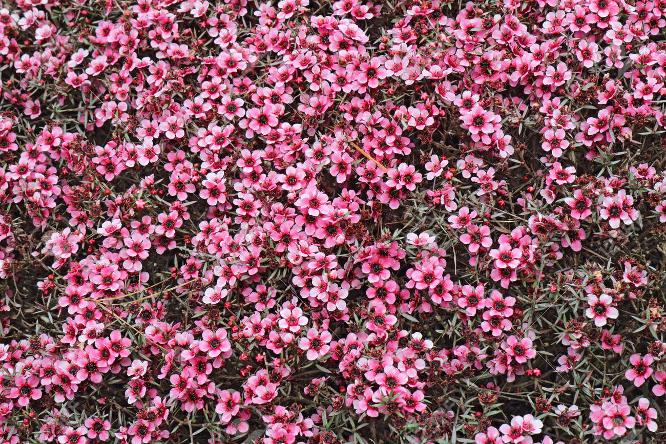 Numerous small pink flowers of the hybrid australian tea tree numerous small pink flowers of the hybrid australian tea tree leptospermum fill the frame stock mightylinksfo