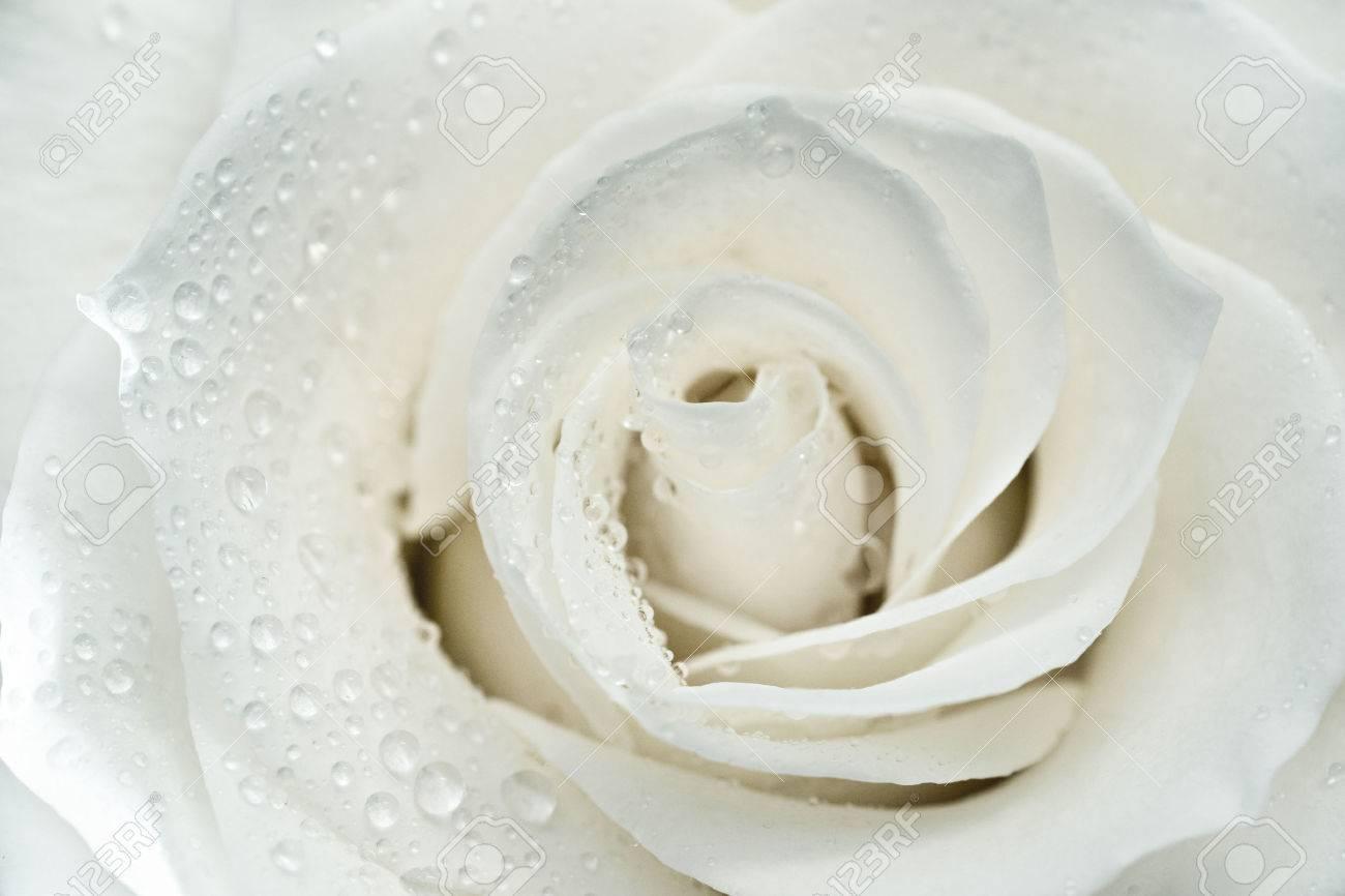 white rose stock photos royalty free white rose images