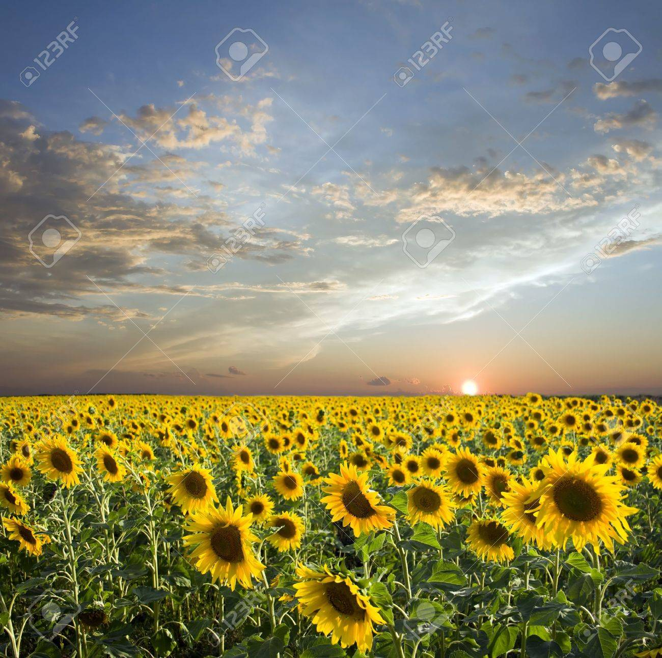 Sunset above field of the yellow sunflowers. Sky amd clouds Stock Photo - 9016223
