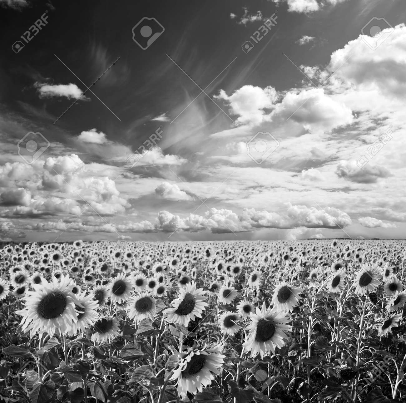 Field Of The Yellow Sunflowers Black And White Shot Stock Photo