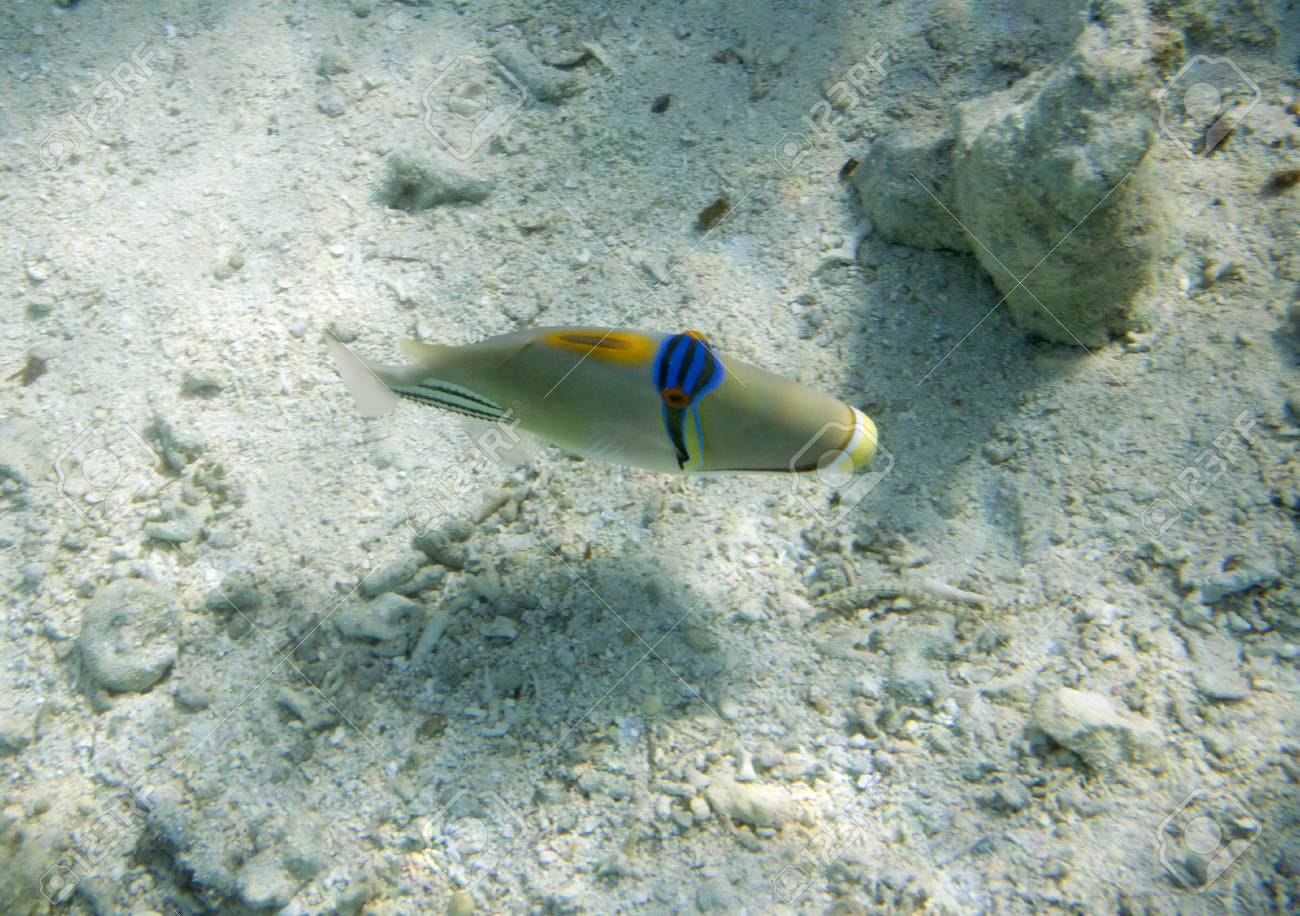 Arabian triggerfish. Picassofish. Rhinecanthus assasi. Underwater life of Red sea in Egypt. Saltwater fishes and coral colony reef. Stock Photo - 22779164