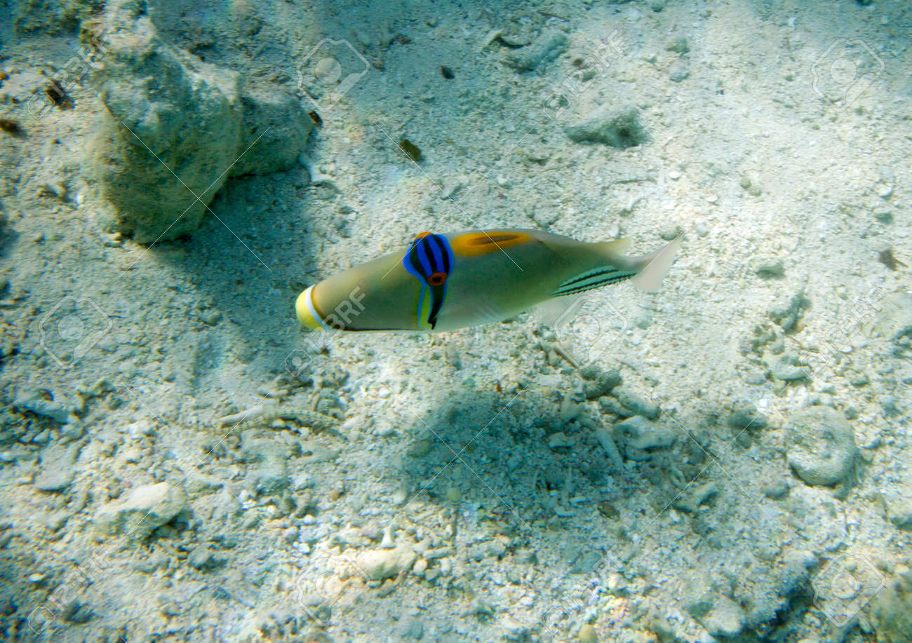 Arabian Picasso triggerfish. Picassofish. Rhinecanthus assasi. Underwater life of Red sea in Egypt. Saltwater fishes and coral colony reef. Stock Photo - 24346985