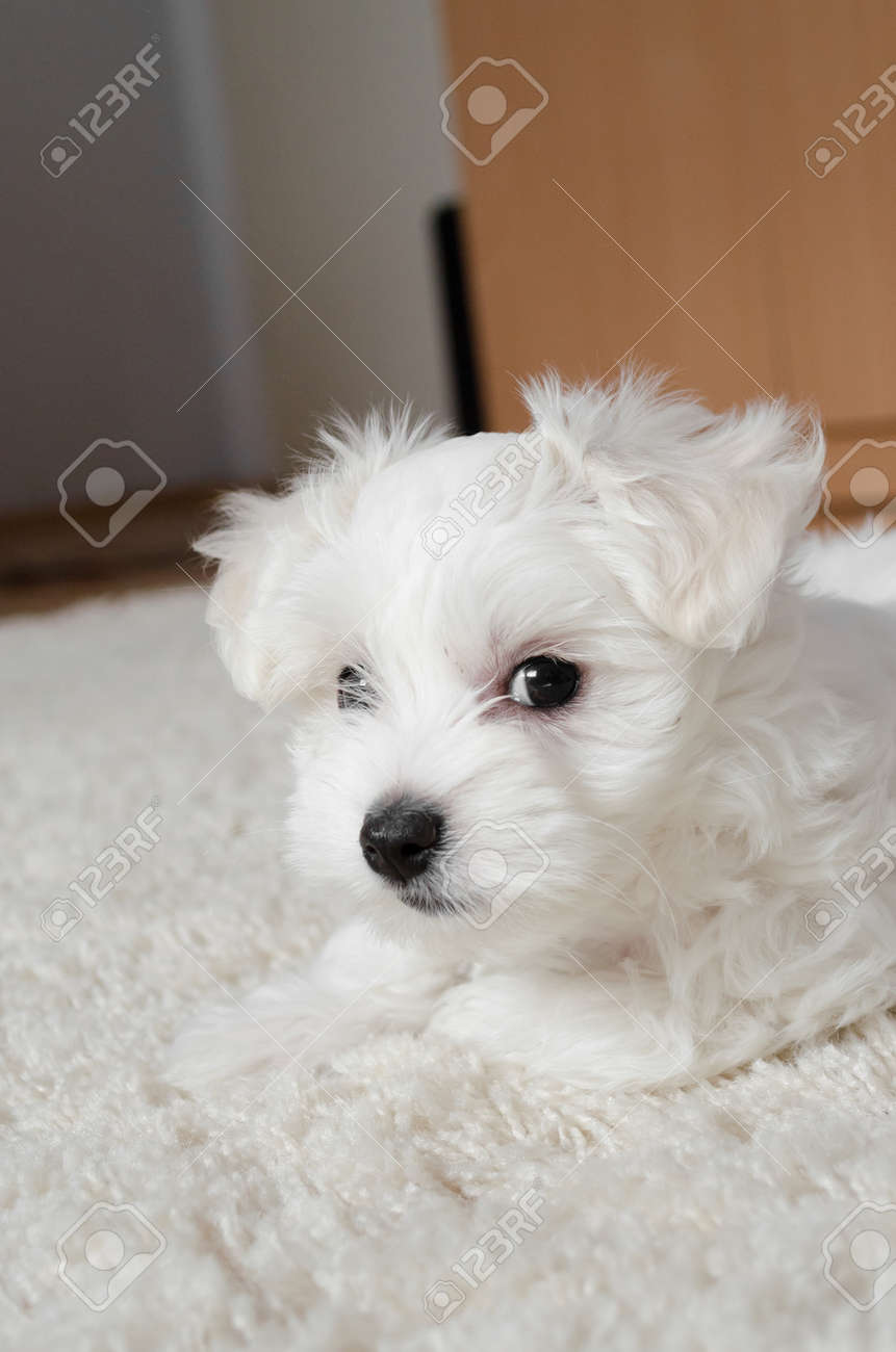 Cute Little White Puppy Sitting On A Carpet Stock Photo Picture And