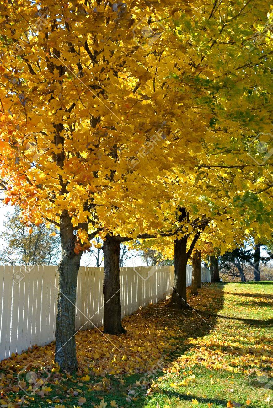 A Row Of Maple Trees Against A White Fence In Missouri Stock