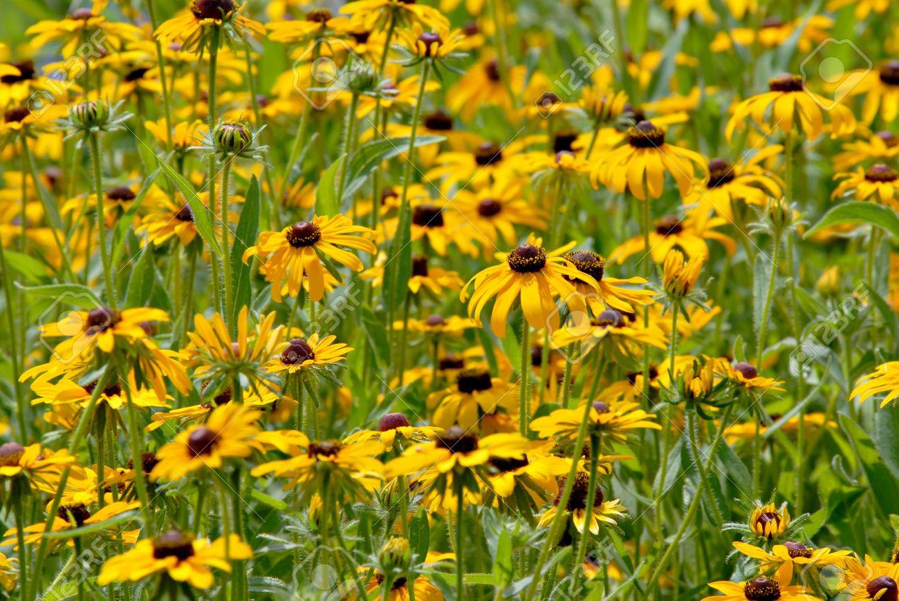 A field of pretty yellow daisy type flowers stock photo picture a field of pretty yellow daisy type flowers stock photo 4119630 dhlflorist Images
