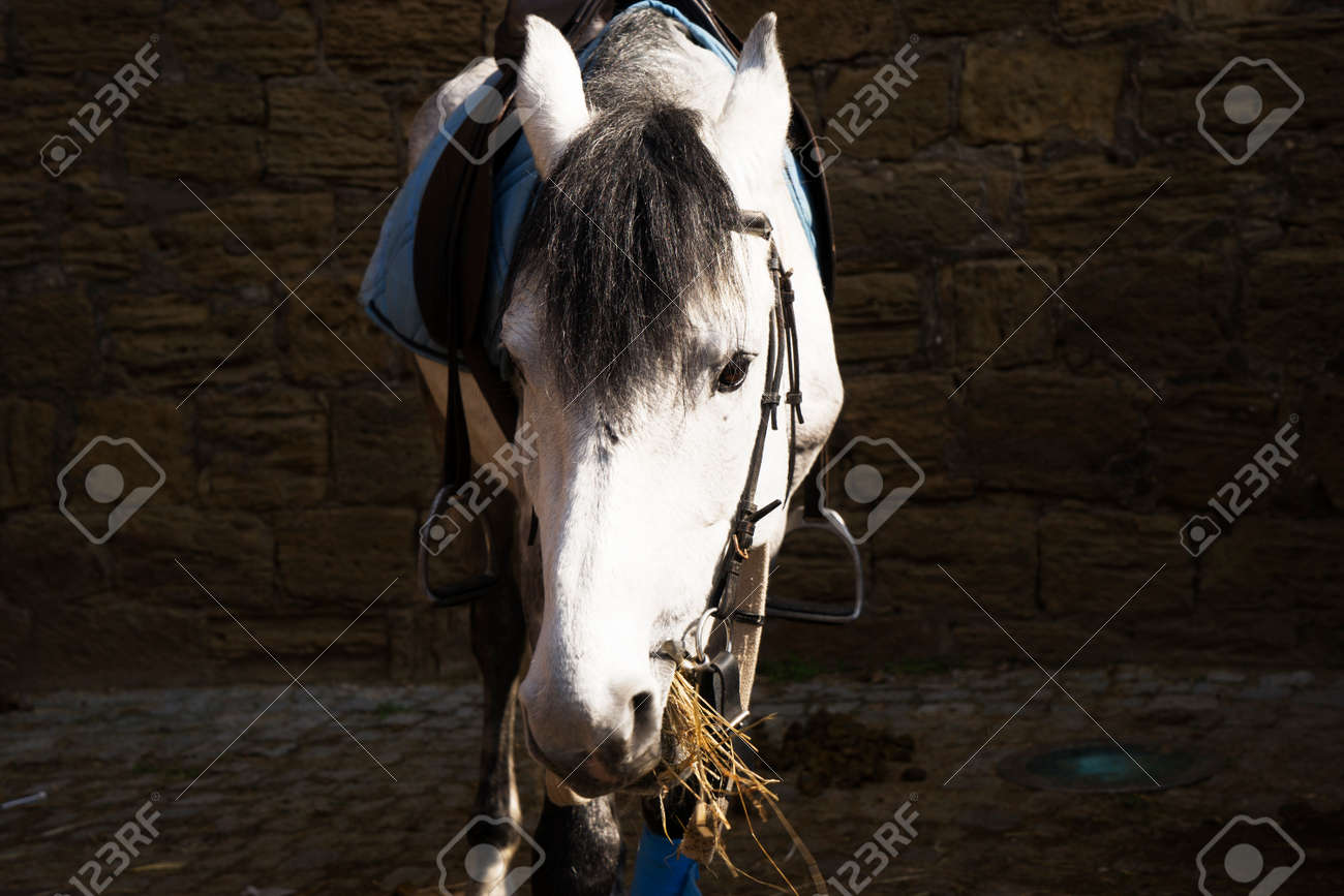 White Arabian Horse Portrait In Summer Day Stock Photo Picture And Royalty Free Image Image 78838170