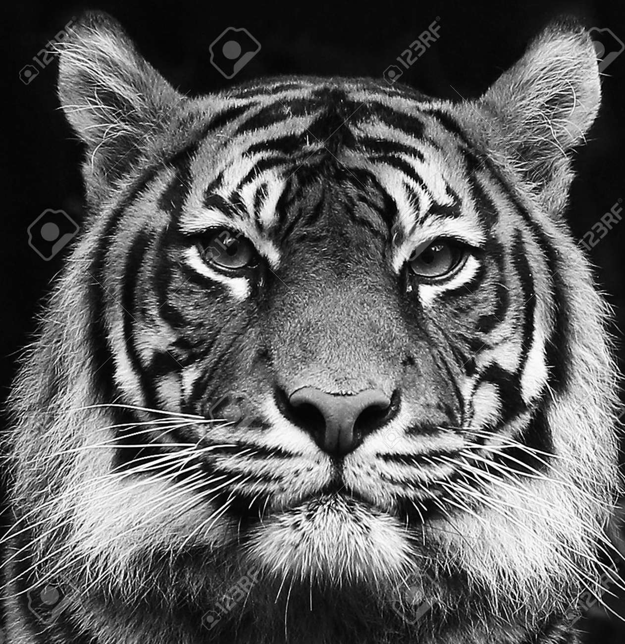 Black and white portrait of a beautiful Siberian tiger with high contrast - 145800717