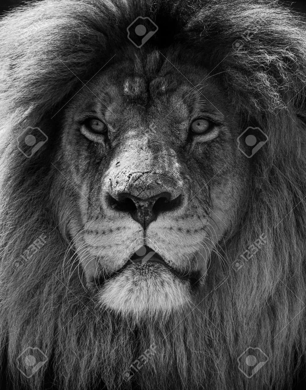 Portrait of beautiful African lionin black and white. - 147943921