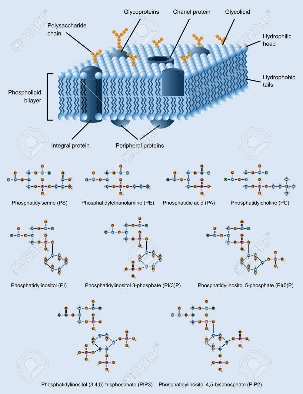 Imagen De La Estructura De La Membrana Celular Con Fosfolípidos También Fórmulas