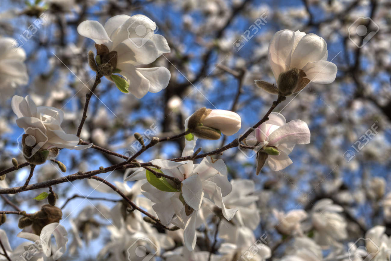 Beautiful White Magnolia Tree In Full Bloom With Blue Sky Background