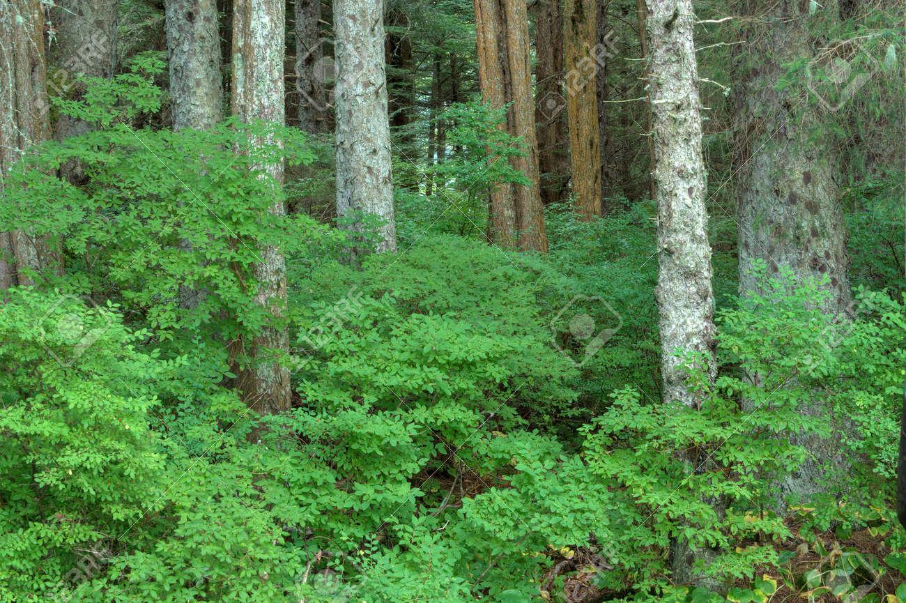 Beautiful green huckleberry bushes in dense forest near Sitka on Baranof Island in southeast Alaska Stock Photo - 23415481
