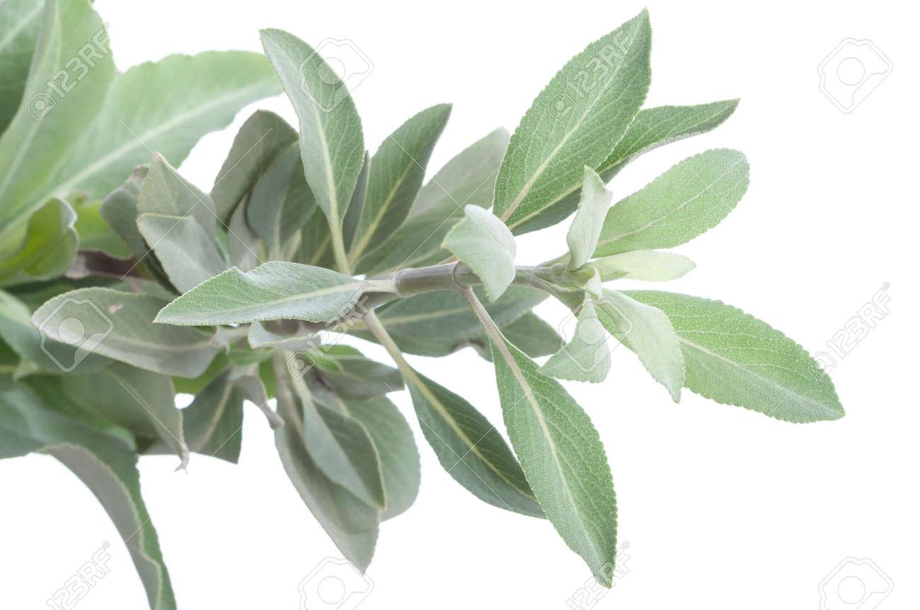 Closeup Of Fresh White Sage Salvia Apiana Branch On White Background