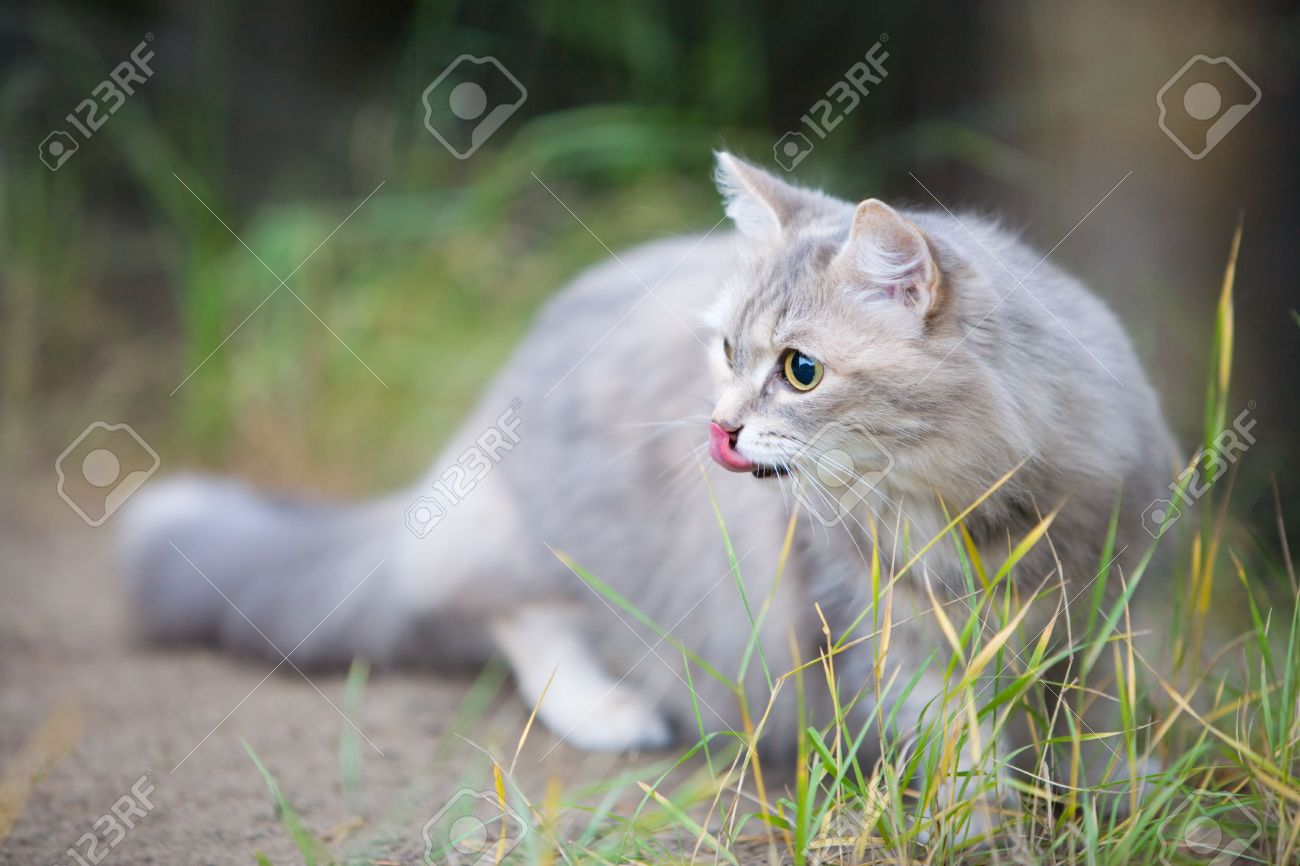 4086976-12-years-old-beautiful-gray-cat-outdoors-Stock-Photo.jpg
