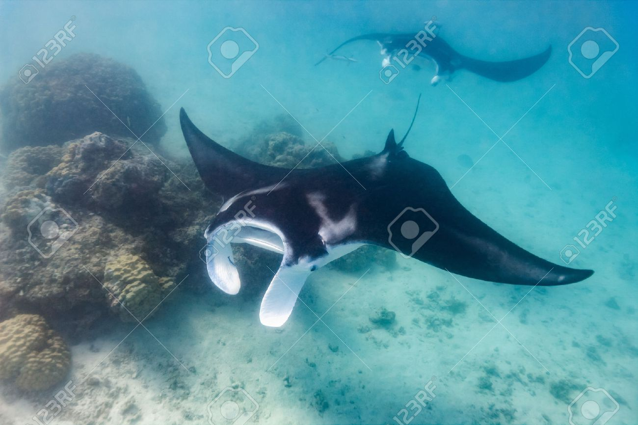 Manta ray swimming in the ocean in French Polynesia - 53164246