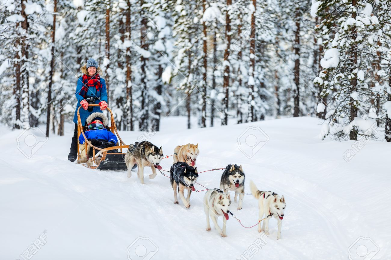63985627 husky dogs are pulling sledge with family at winter forest in lapland finland Stock Photo BEYAZ MASALLAR DİYARI :  LAPONYA