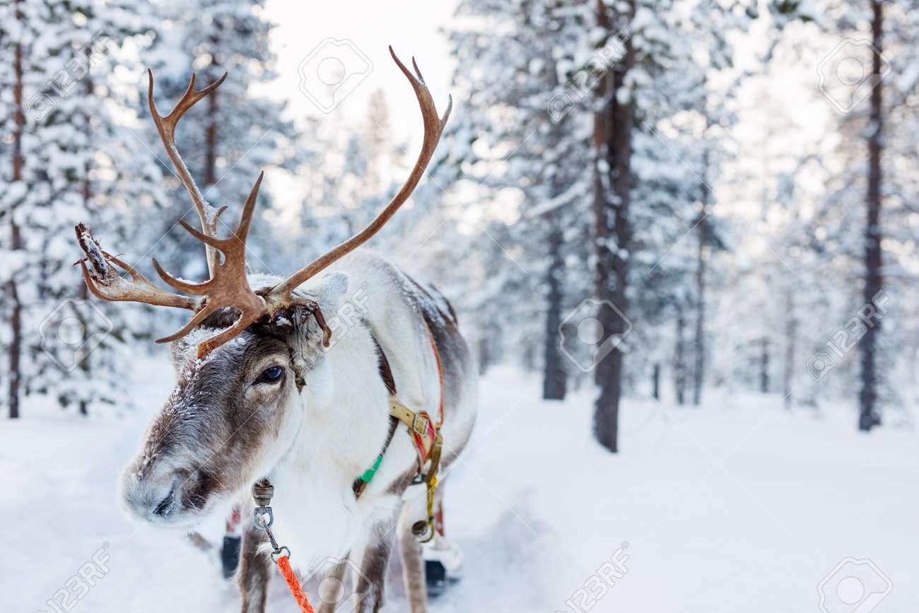 Reindeer in a winter forest in Finnish Lapland - 63986613