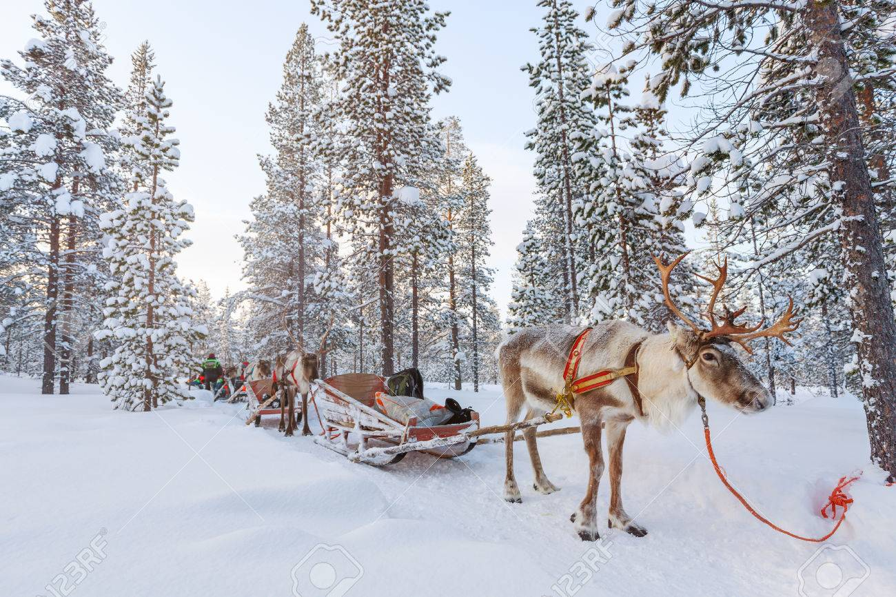 Reindeer safari in a winter forest in Finnish Lapland - 65202529
