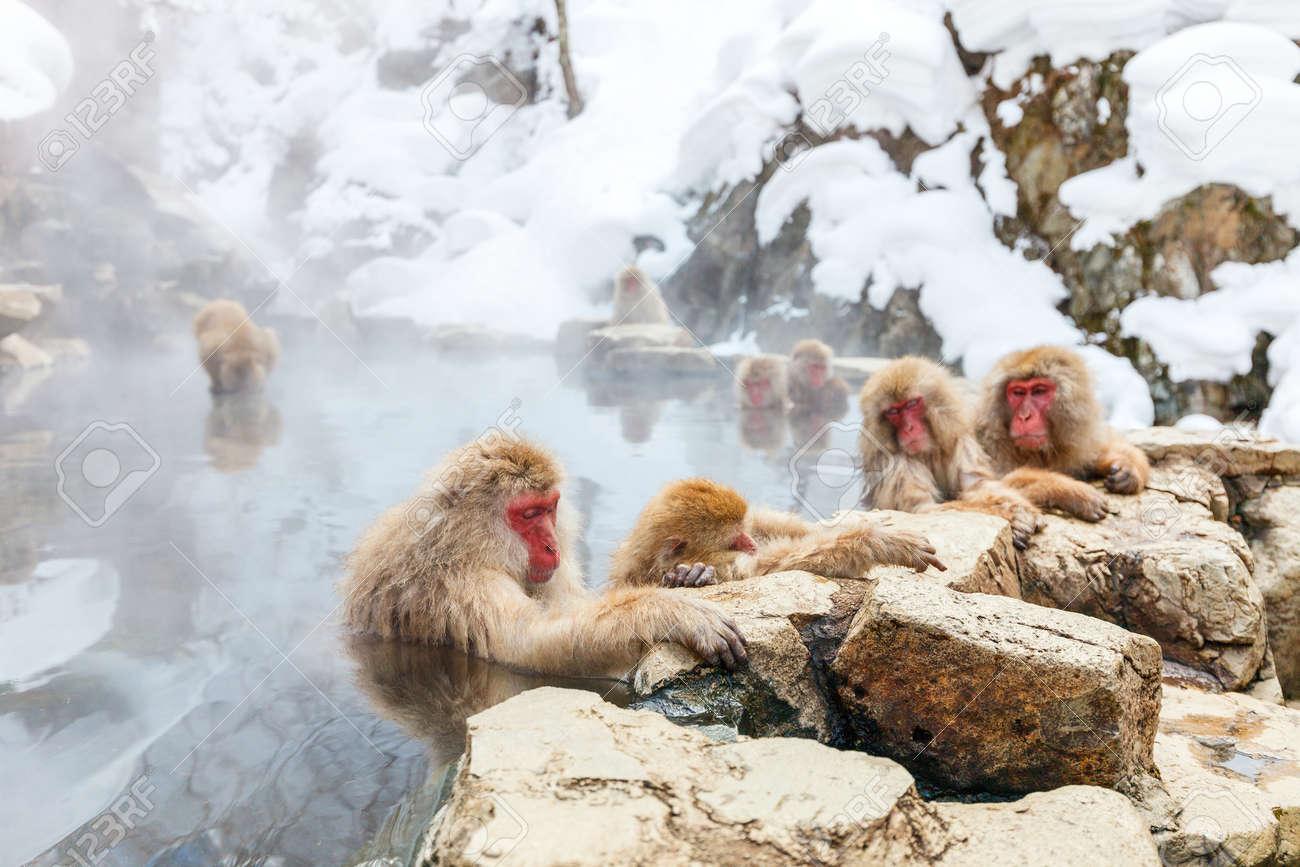 Snow Monkeys Japanese Macaques bathe in onsen hot springs of Nagano, Japan - 65202619