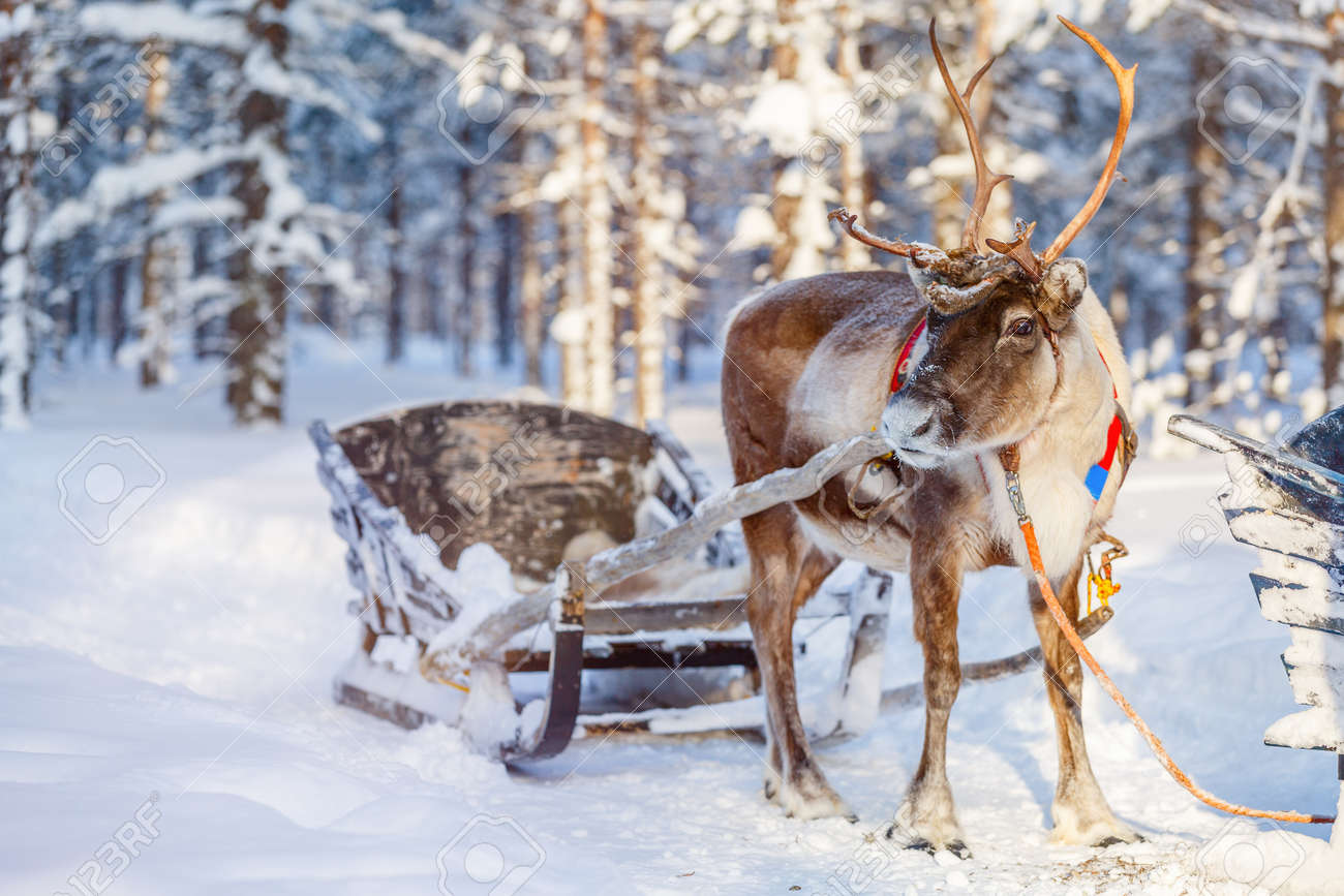Reindeers in a winter forest in Finnish Lapland - 65202718