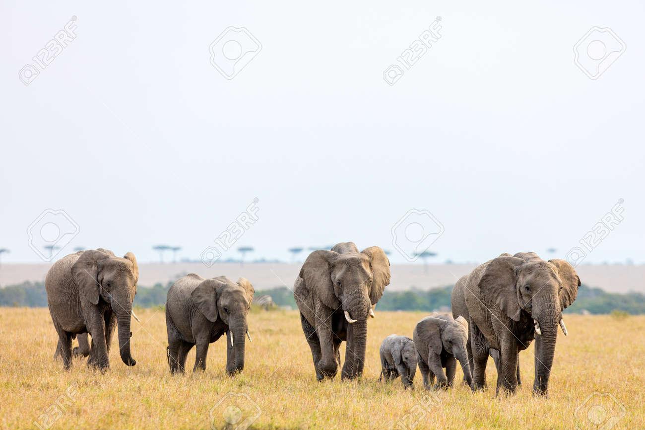 Elephants in safari park in Kenya Africa - 85190961