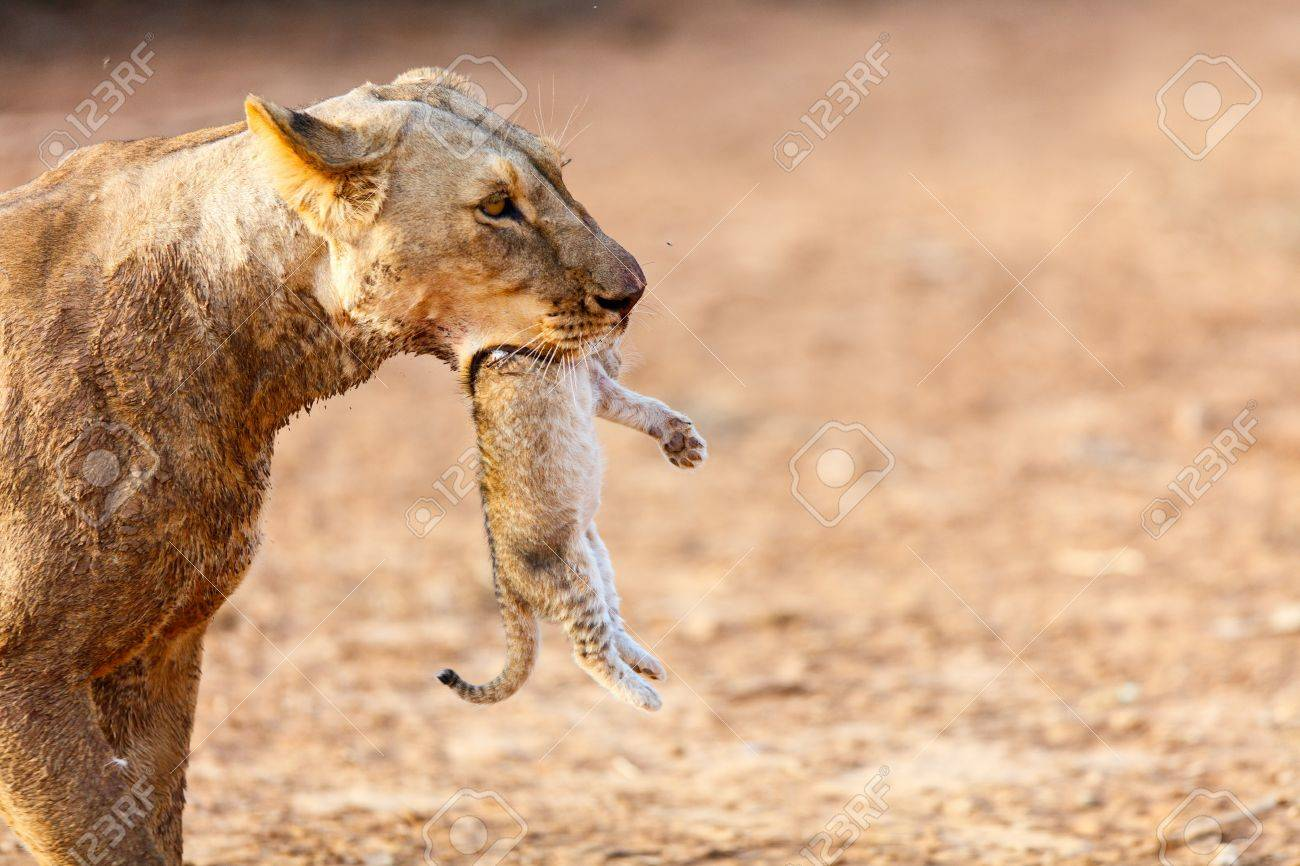 [Image: 85191058-close-up-of-lioness-carrying-cu...-kenya.jpg]