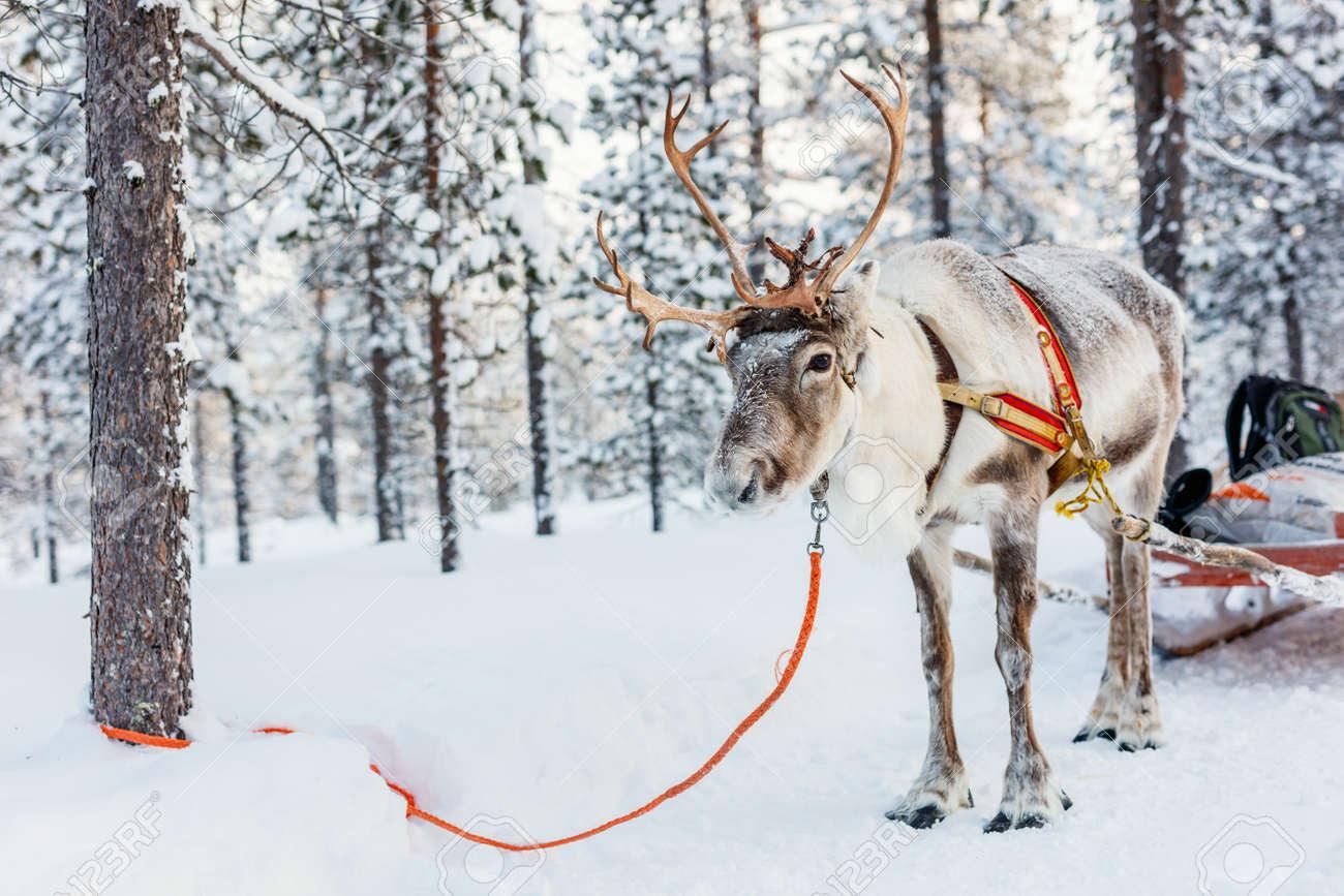 Reindeer safari in a winter forest in Finnish Lapland - 91249315