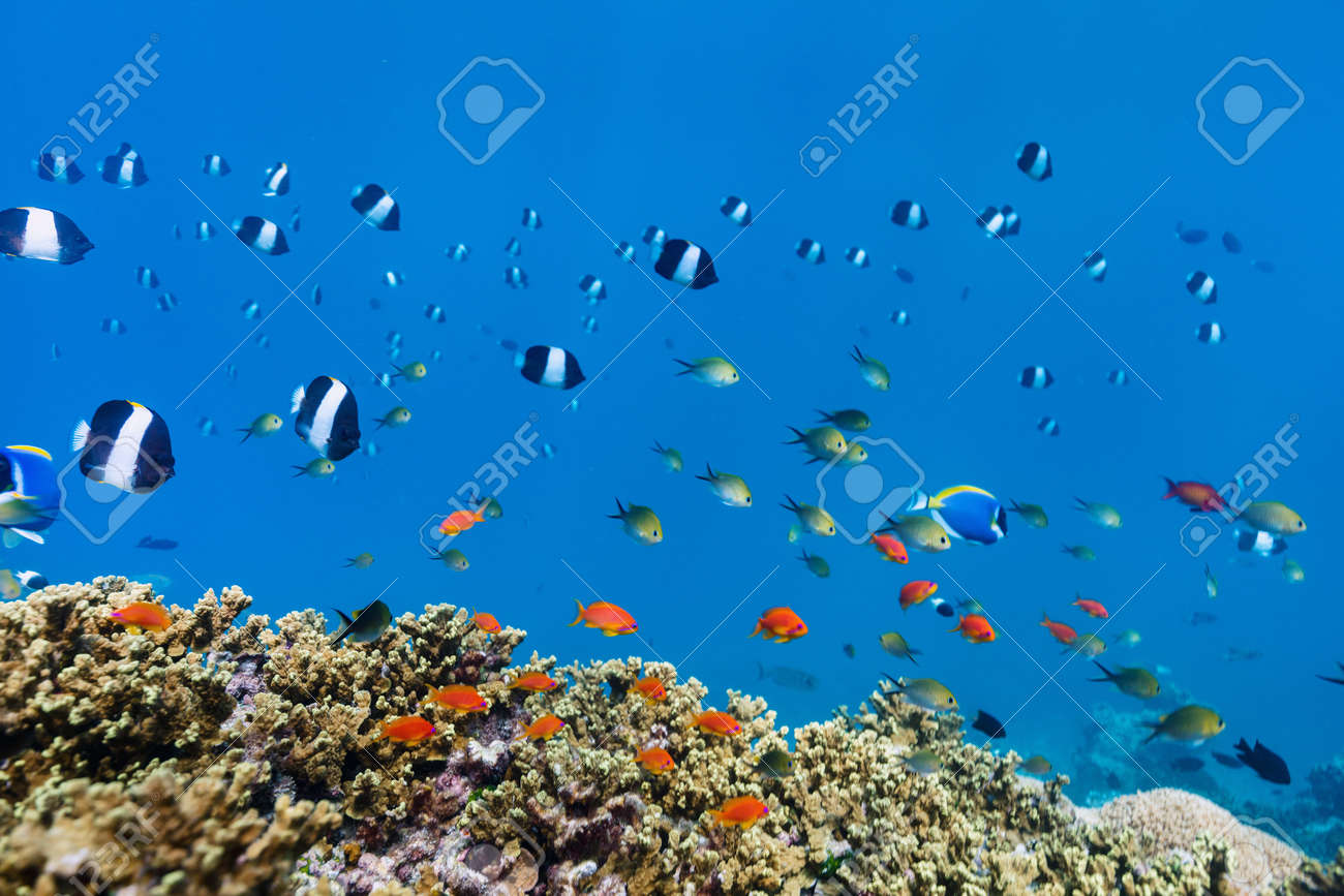Beautiful colorful coral reef and tropical fish underwater in Maldives - 99056824