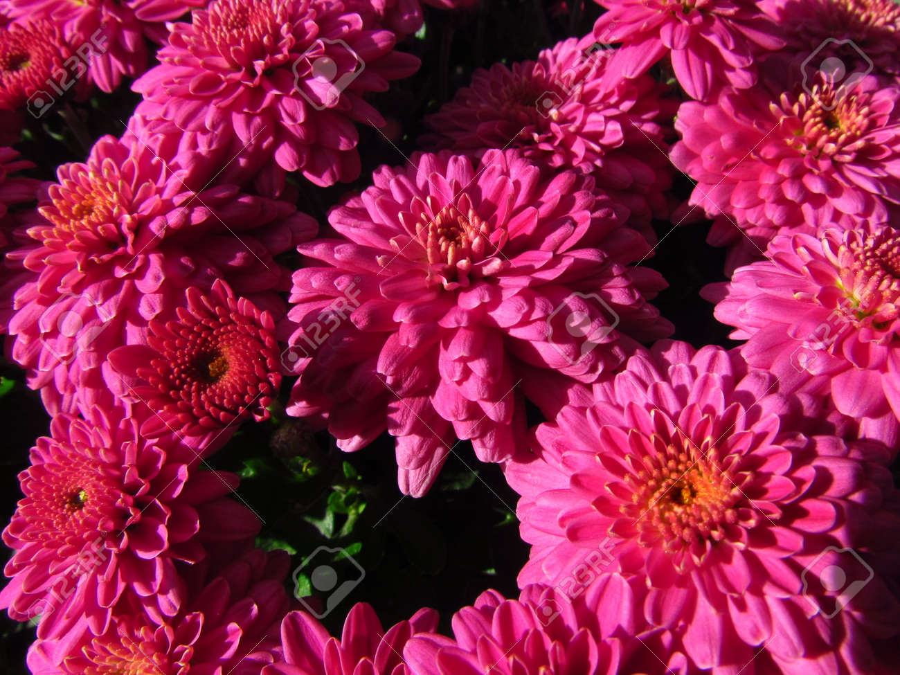 Chrysanthemum Other Names Mums Or Chrysanth Dark Pink Autumn