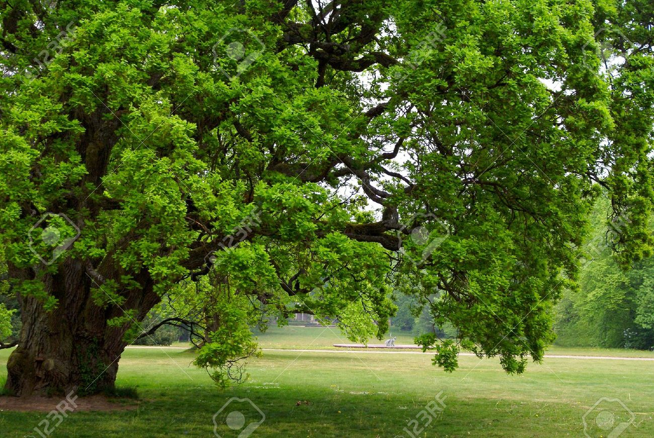 old oak tree with green leaves standing alone in a field Stock Photo - 10668690