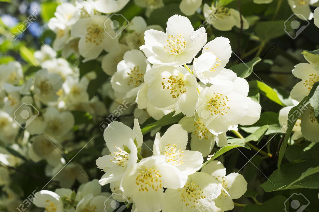 Jasmine White Flower Bush Blossoms At Spring Stock Photo Picture