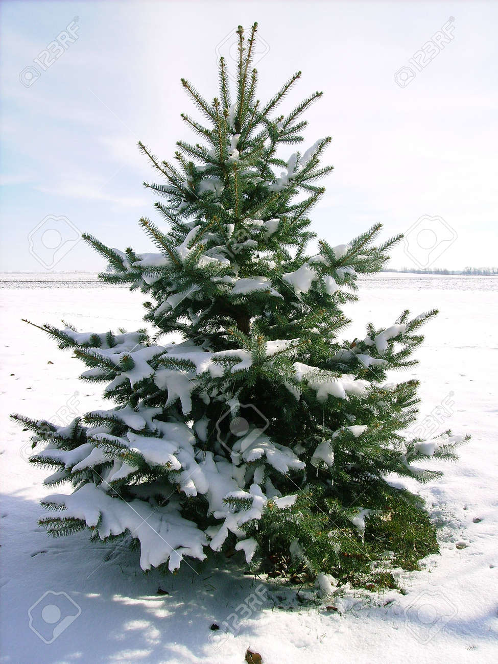 small pine tree covered in snow stock photo picture and royalty