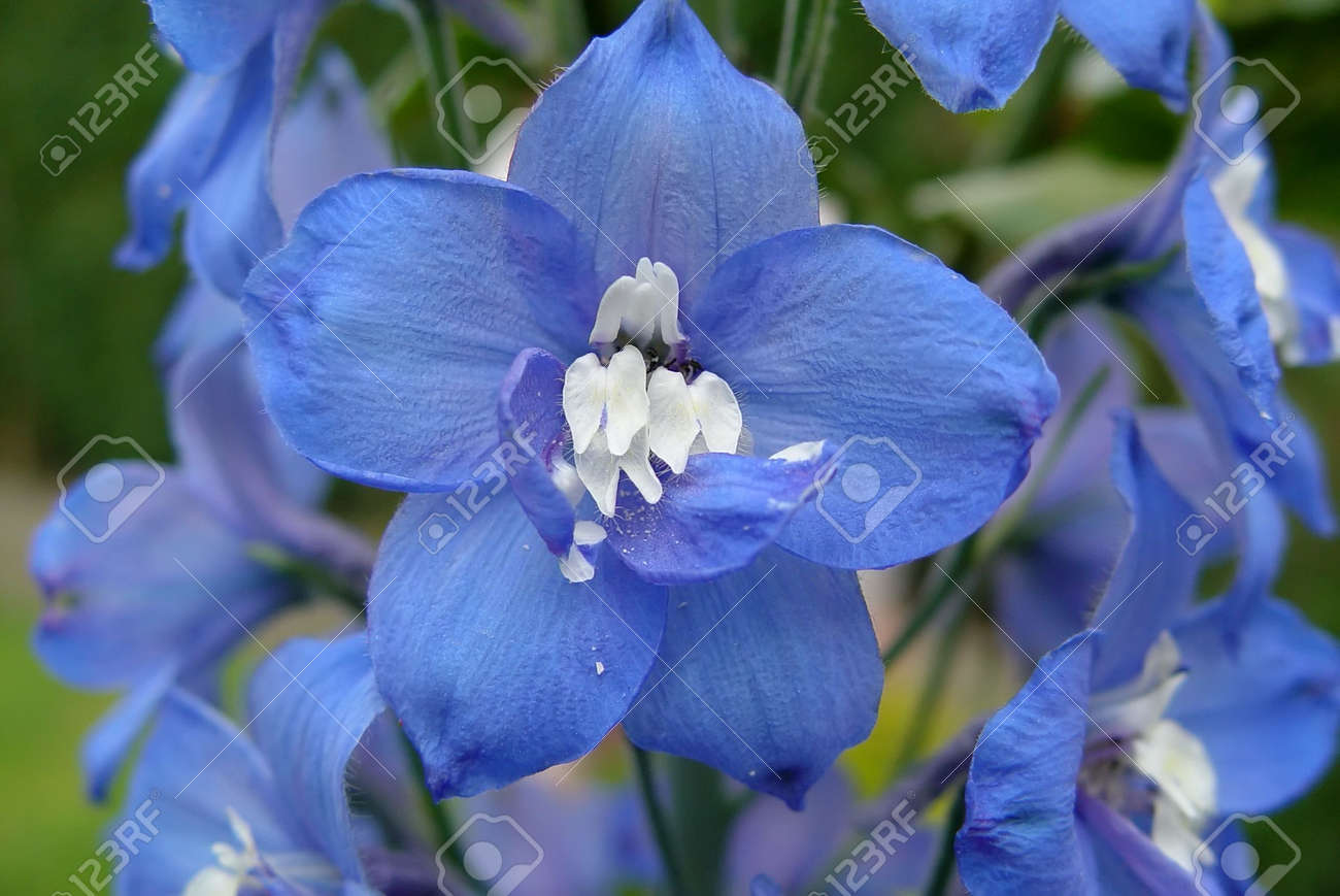 A cluster of blue and white delphinium flowers stock photo a cluster of blue and white delphinium flowers stock photo 3037881 dhlflorist Image collections